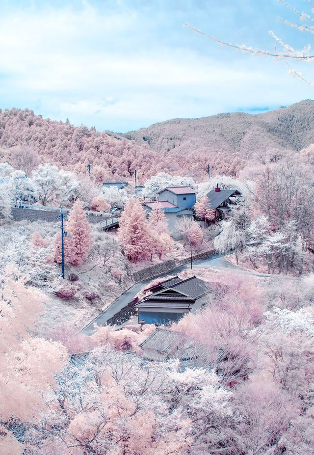 A hillside awash in the pastel pinks of blooming cherry blossoms in Nara, Japan, is a swoon of romance and natural beauty.