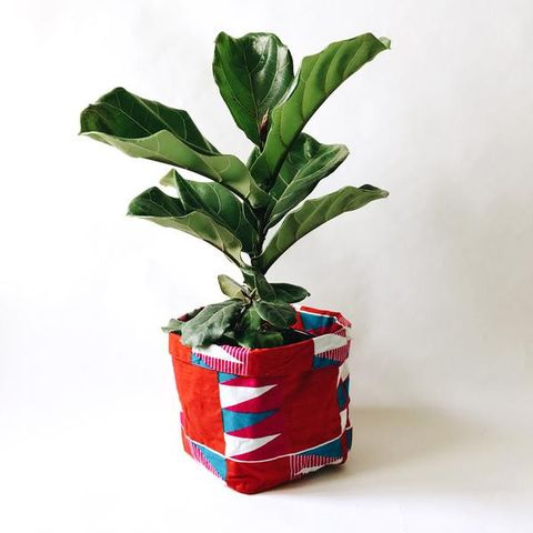 Fiddle Leaf Fig with Yevu Cover