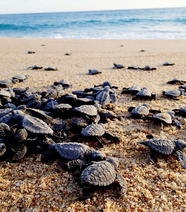 Baby Turtles Hatching on the Beach