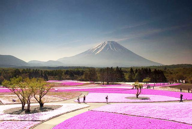 At the foot of Mount Fuji in Japan are fields of pink moss wildflowers, their yearly bloom celebrated during the Fuji Shibazakura Festival.